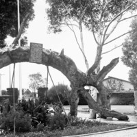 Image: Large tree bent in arch shape with sign at top