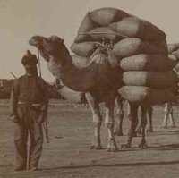 Image: An Afghan man stands in front of a line of camels laden with large sacks of bulk cargo. Three men in western attire stand at the image centre