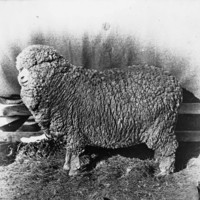 Image: A large sheep