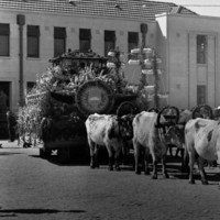 Image: cattle pulling cart covered in flowers
