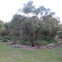 Image: A stand of native Australian plants and trees on the edge of a flat, grassy area