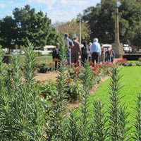 Image: Rosemary plant with people in background.