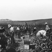Image: People in a field picking grapes